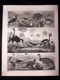Heck 1849 Antique Bird Print. Crowned Crane, Ostrich, Heron, etc
